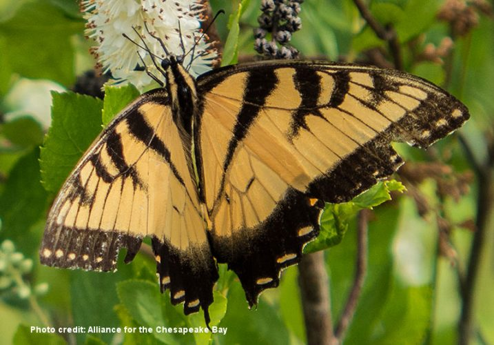 Butterfly credit: Alliance for the Chesapeake Bay